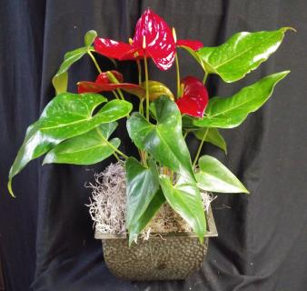 AF Red Antherium Plant With Decorative Pot