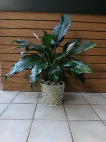 Peace lily in decorative wire basket