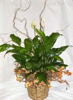 Peace Lily with Permanent Wreath