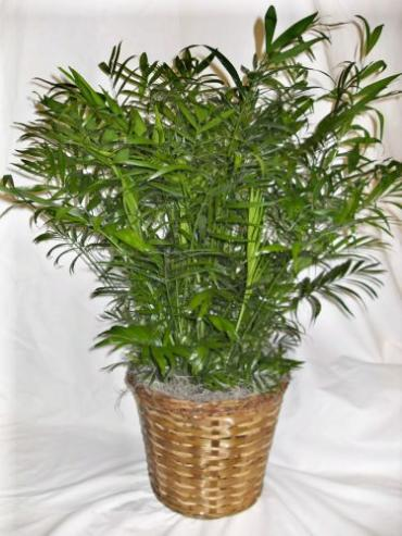 Neanthe Bella Palm Plant (Large)
