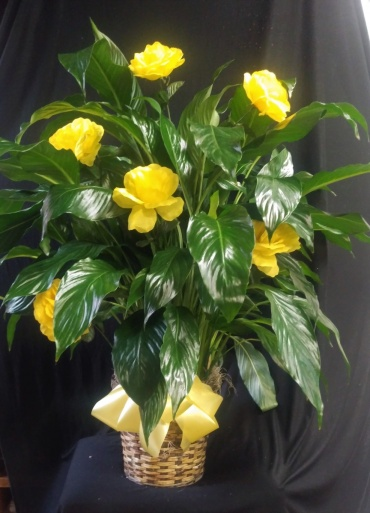 AF Decorative Peace Lily With Yellow Roses