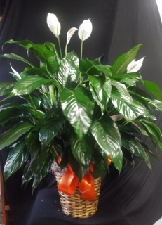 AF Large Peace Lily In Wicker Basket